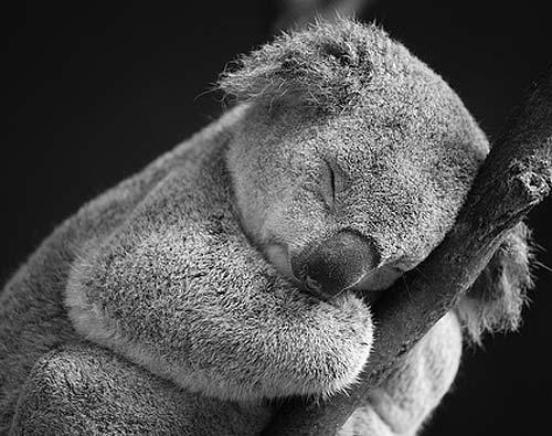sleeping koala bear