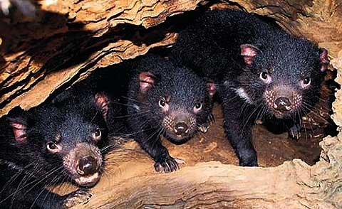 Tasmanian Devil - Fierce Marsupial Facing Tough Times | Animal ...