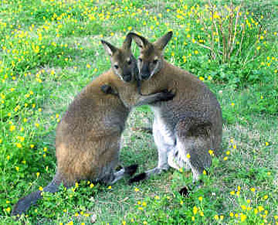 two wallabies embracing