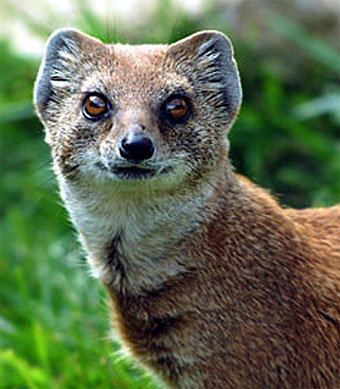 mongoose head