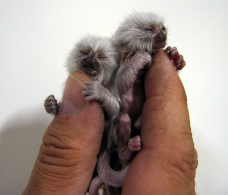 Pygmy Marmoset Twins