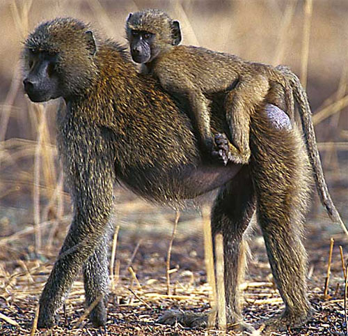 baboon mother baby