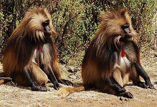 couple of gelada baboons