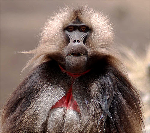 http://www.factzoo.com/sites/all/img/mammals/monkeys/baboon/gelada-baboon-ethiopia.jpg