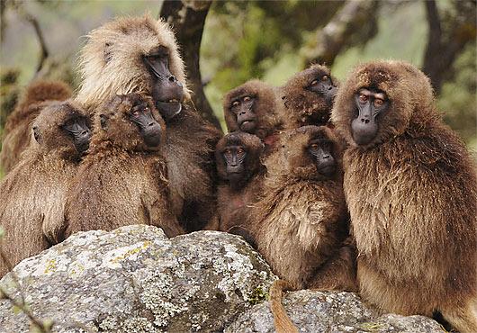 gelada family huddle