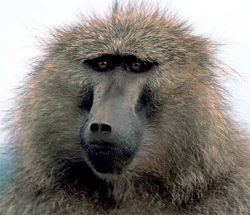 olive baboon head