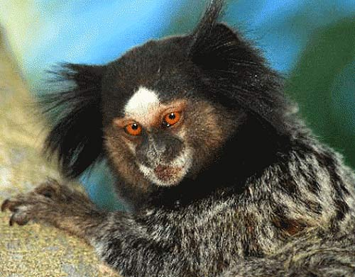 weids marmoset orange eyes