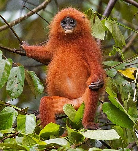 chillin tree red borneo monkey