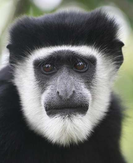 the characteristics and types of the colobus monkey an african primate species Subtypes of primate immunodeficiency viruses hiv-1 virus species primate species comments formerly a subspecies of african green monkey.