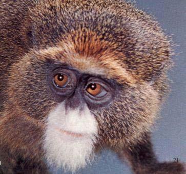 deBrazzas-monkey.jpg