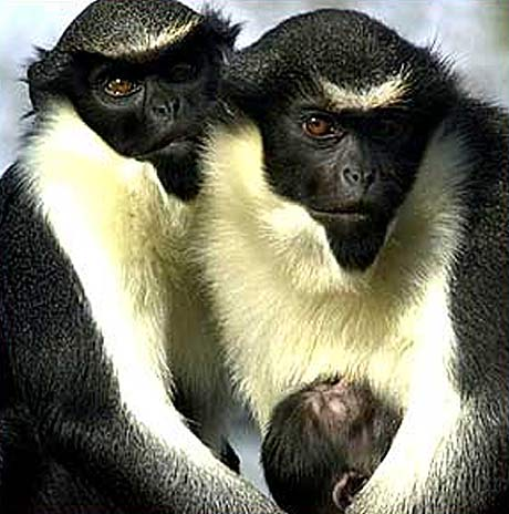 diana monkey family