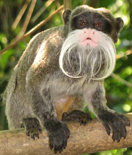 Marmoset Facts For Kids
