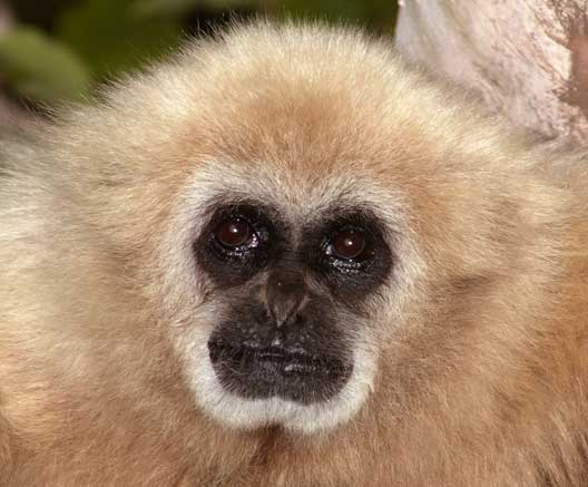 Types of monkeys animal pictures and facts factzoo gibbon face voltagebd Image collections