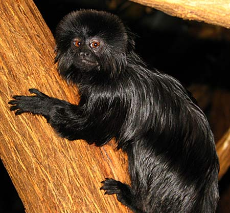 the black monkey