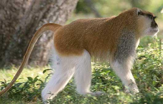 hairy patas profile
