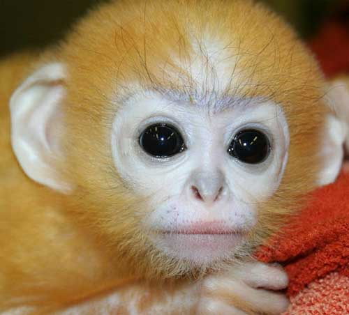 spectacled langur baby