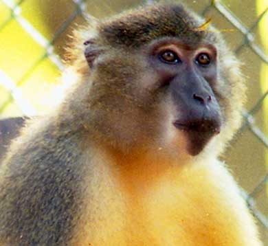 yellow bellied mangabey