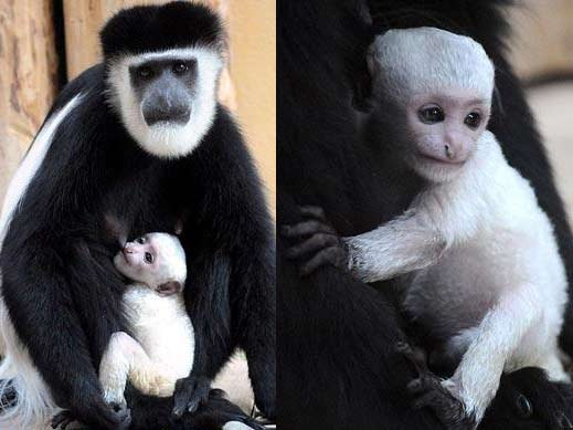 mother-baby-colobus-guereza.jpg