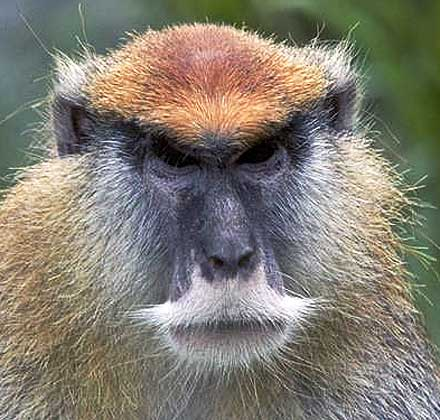 patas monkey close up