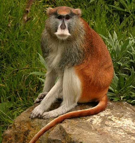 Patas Monkey Fastest On The Ground Animal Pictures And
