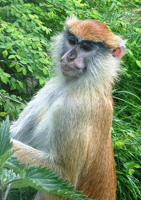 patas-monkey.jpg
