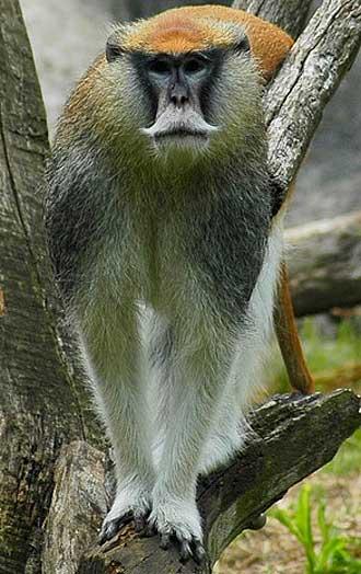 patas red guenon climbing