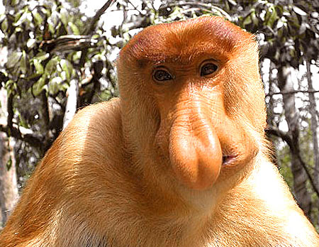 proboscis-monkey-nose.jpg