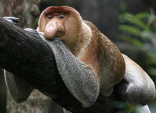 proboscis monkey relaxed