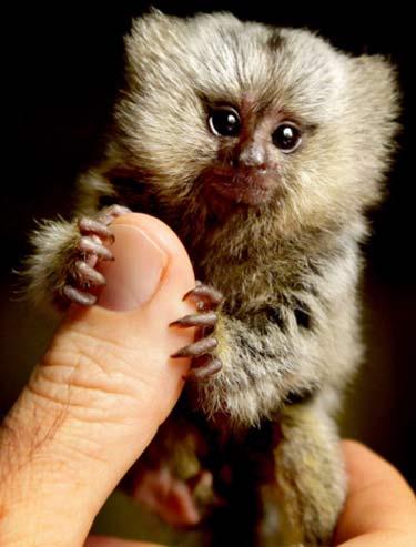 marmoset thumb