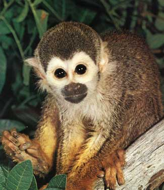 Types of Monkeys   Animal Pictures and Facts   FactZoo com