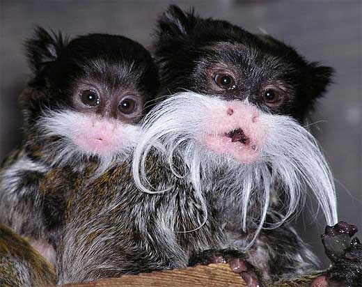 moustache tamarin eating