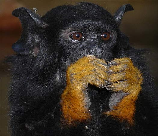 Red Handed Tamarin The Monkey With The Golden Touch
