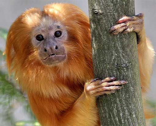 Golden Lion Tamarin The Lion Monkey Animal Pictures