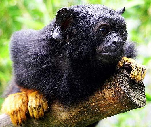 midas gold touch monkey