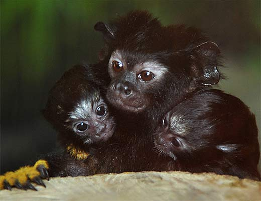 pair young with parent red handed monkeys