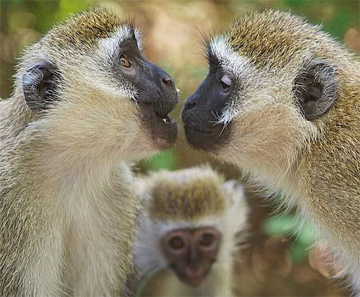 Vervet Monkey Social African Primate Animal Pictures