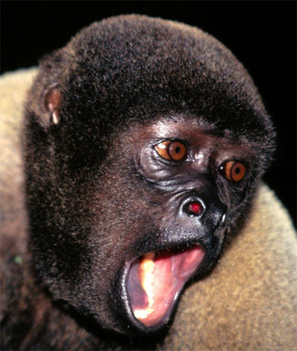 woolly monkey head