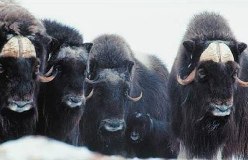musk oxen in the snow