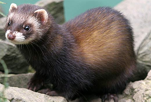 Polecat - Euro-Stench Mustelid | Animal Pictures and Facts ... | 520 x 351 jpeg 29kB