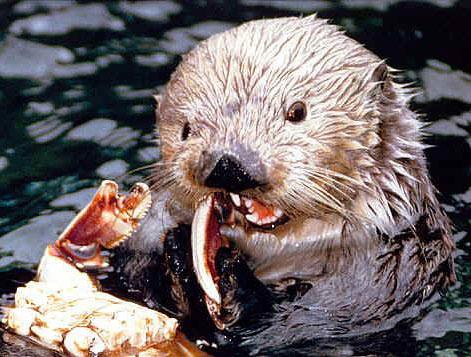 Sea Otter - Cold-Water, Little, Keystone Species Mammal   Animal ...