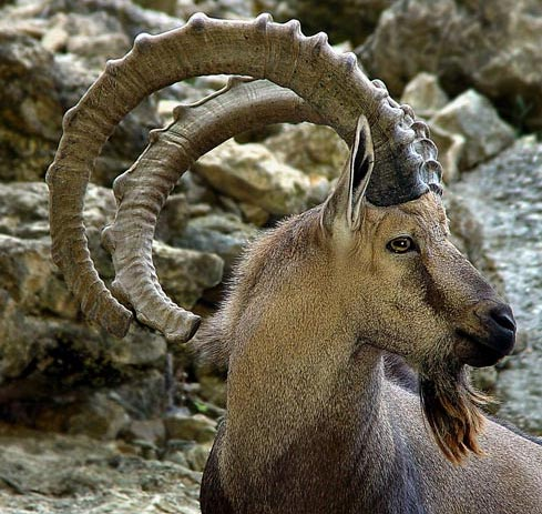 bearded ibex