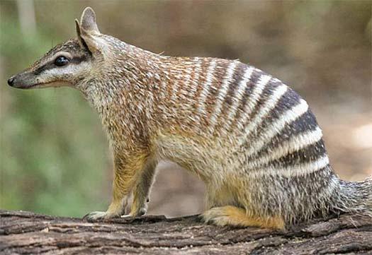 walpurti termite eater