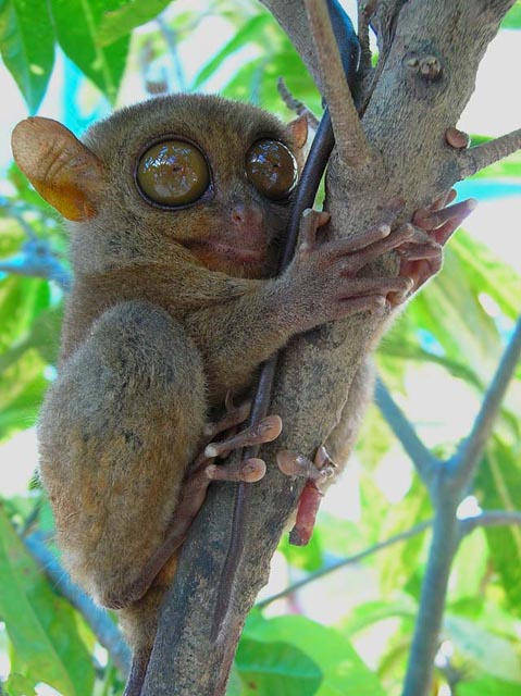 Tarsiers - The Big-Eyed, Ancient, Nocturnal Mammal | Animal ...