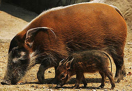 Red River Hog Bush Pig Will Eat Your Crops Animal
