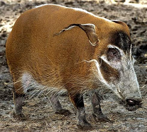 red river hog white hairs