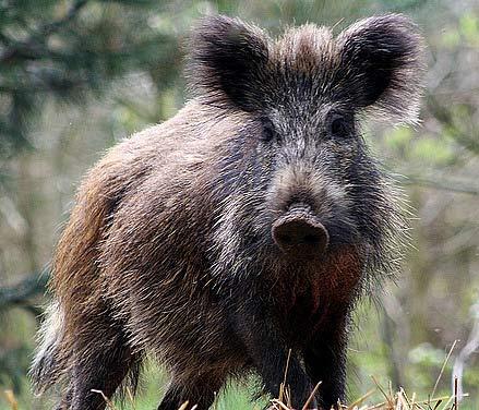 scruffy wild boar