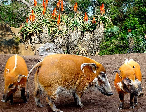 three orange bush pigs