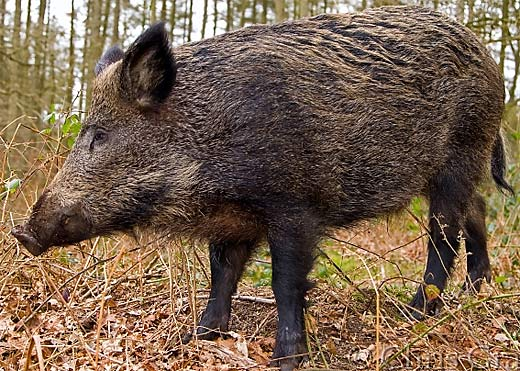 wild boar forest