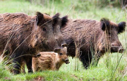 wild boar sounder