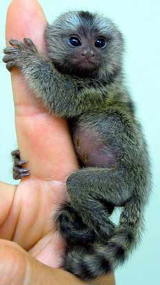 Top 10 Pygmy Animals Animal Pictures And Facts Factzoo Com